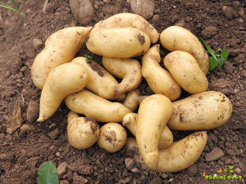 Semena in krompir za domač vrt