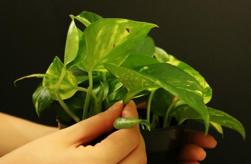 Razmnoževanje sobnih rastlin