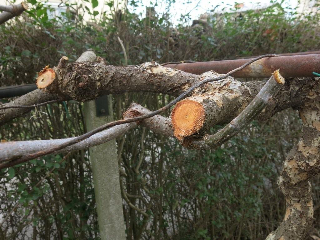 Šparon izrašča iz dvoletnega lesa.