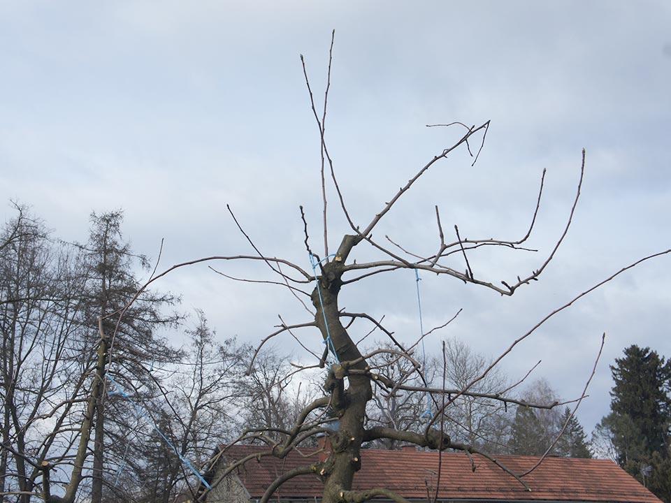 Vrhove-dreves-mocno-razredcimo-poganjkov