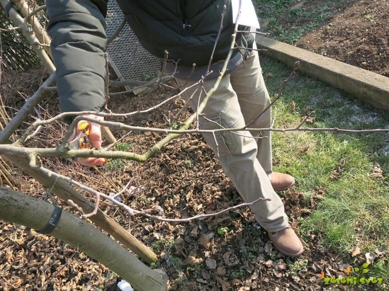 Kako režemo sadno drevje?
