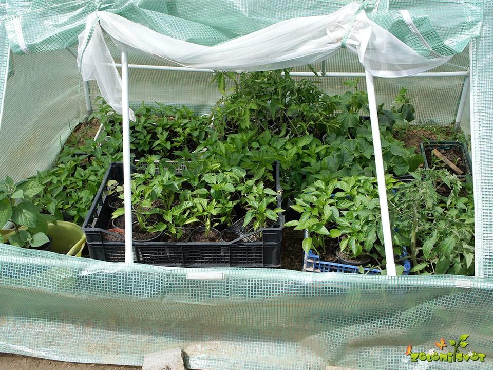 Sadike spomladi utrjujemo v toplih gredah, rastlinjakih, tunelih ter vetrolovih, da imajo zadosti svetlobe in se ne potegnejo.