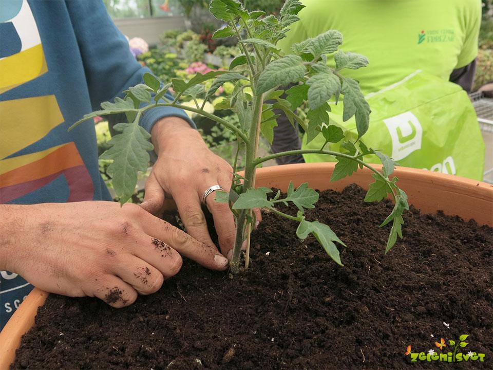 Cepljen paradižnik sadimo na enako globino kot je posajen v lončku.