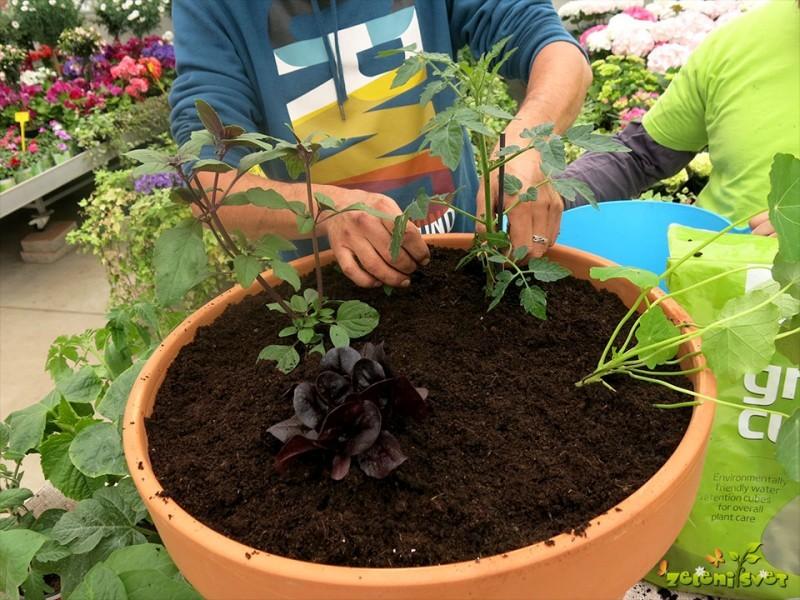 Paradižnik v posodah in vrtu