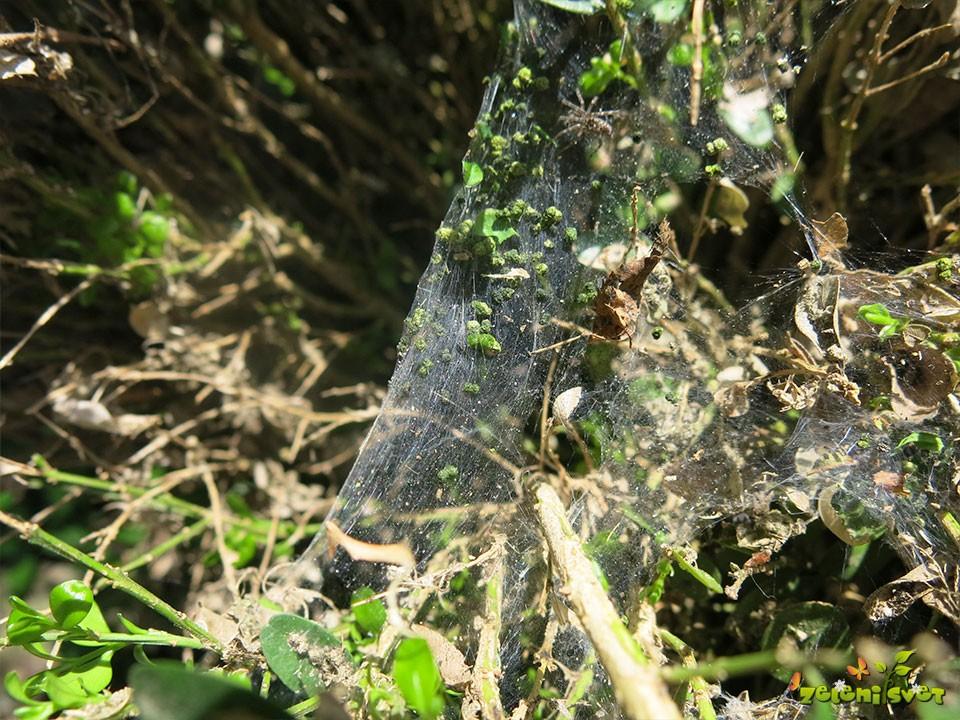 Zapredek gosenice pušpanove vešče.