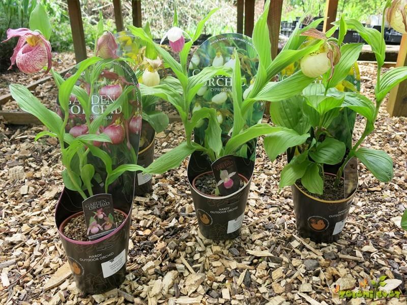 Prezimne orhideje za vaš vrt