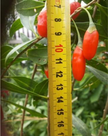 goji jagoda sadika velikost plodov