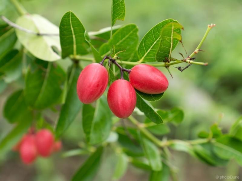 Čudežne goji jagode