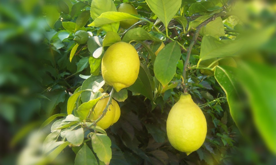 limona-mayer-promo