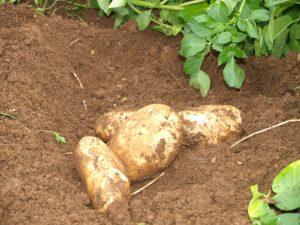 izkop-krompirja