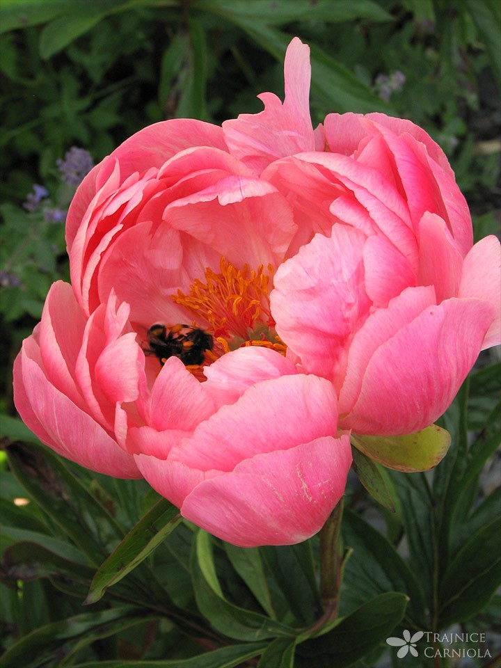 paeonia-coral-charm