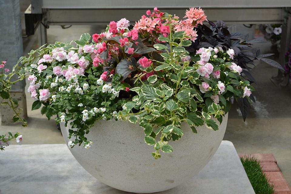 Vodenka s polnjenimi cvetovi, pokončne begonije Gumdrop, moljevka, sladki krompir, bela bakopa in rožnata zvezdasta pelargonija.