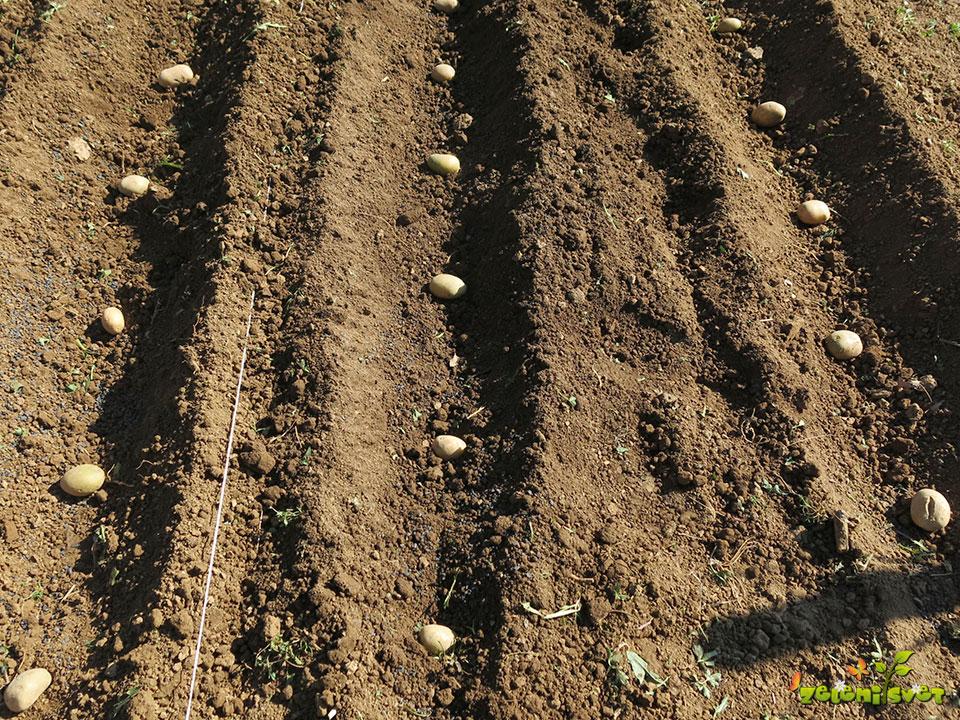 Medvrstna razdalja pri sajenju krompirja