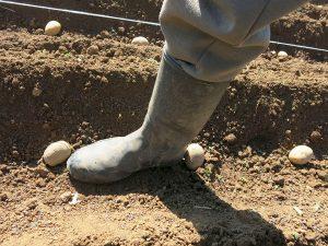Zgodnje sorte krompirja sadimo bolj skupaj kot srednje pozne in pozne sorte