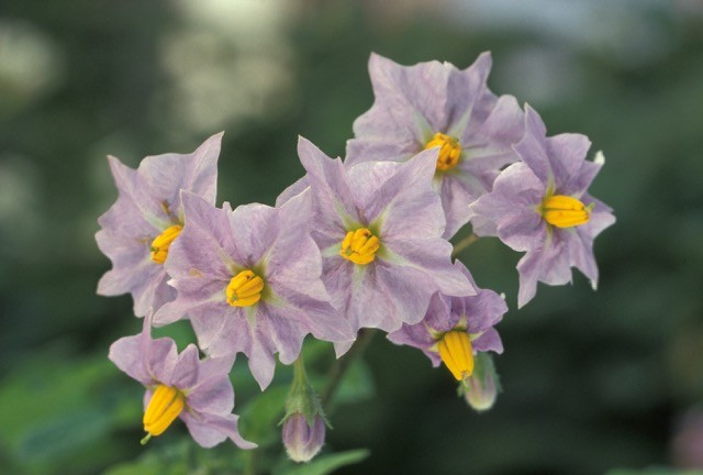 krompirjev cvet