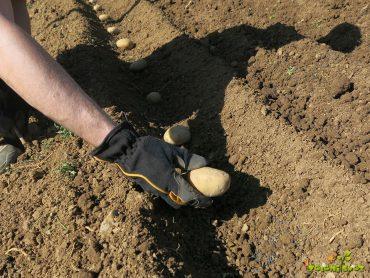 Sajenje krompirja v domačem vrtu