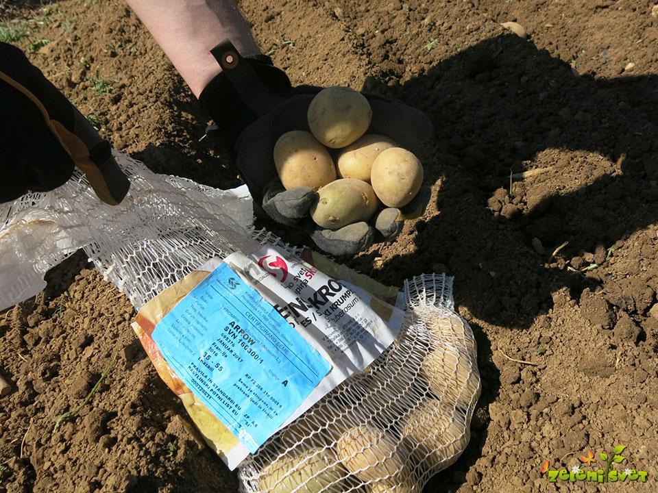 Semenski krompir sorte Arrow