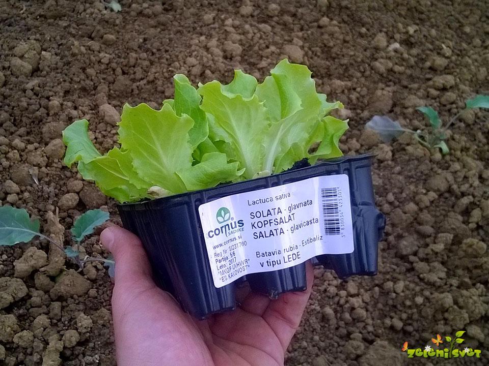 Kvalitetna sadika solate v kultipaku.