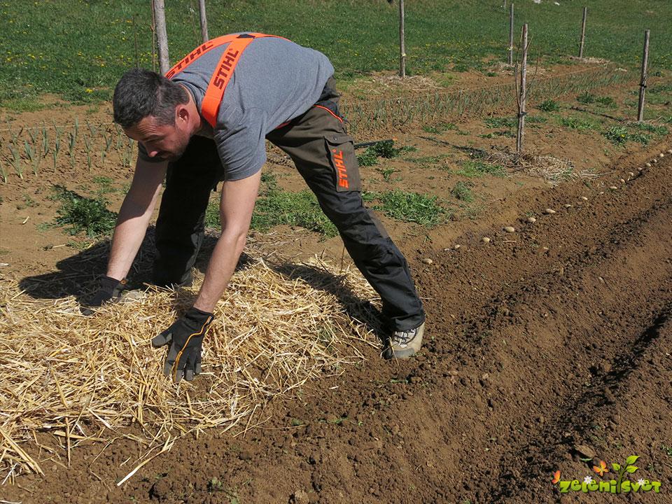 Francoski način gojenja krompirja