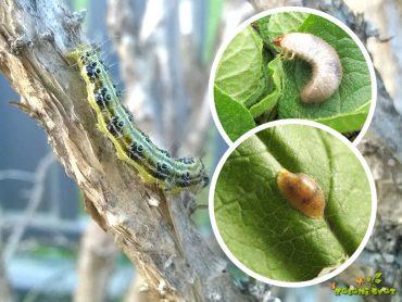 Ustavimo požrešne gosenice, uši in kaparje