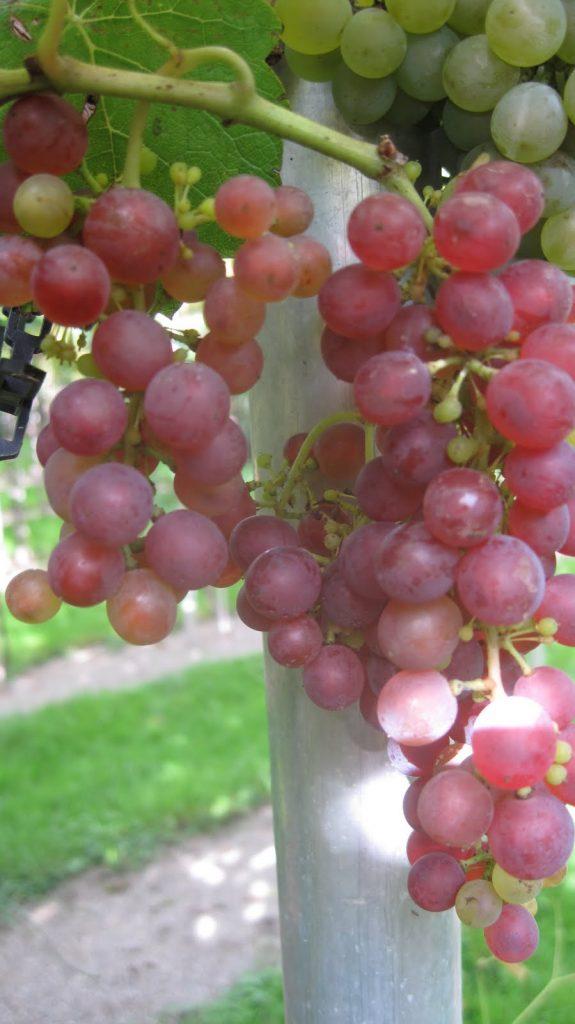 rdeče sorte grozdja