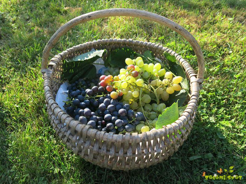 Odporne sorte grozdja