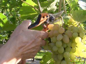 obiranje grozdov in čas trgatve