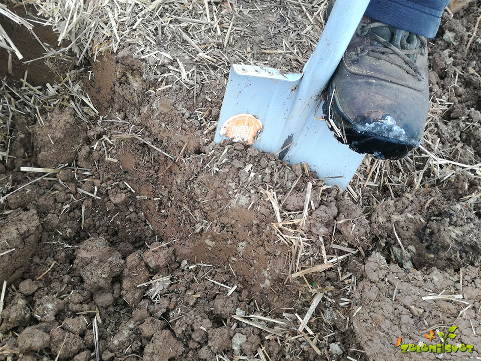 Zasipnico lahko izkopljemo v rastlinjaku.