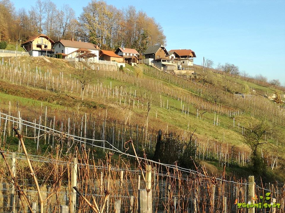 kivi vinograd