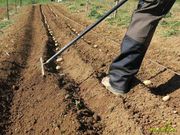 Koliko krompirja sadimo v domač vrt?