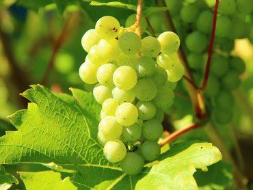 Odporne sorte grozdja za domač vrt