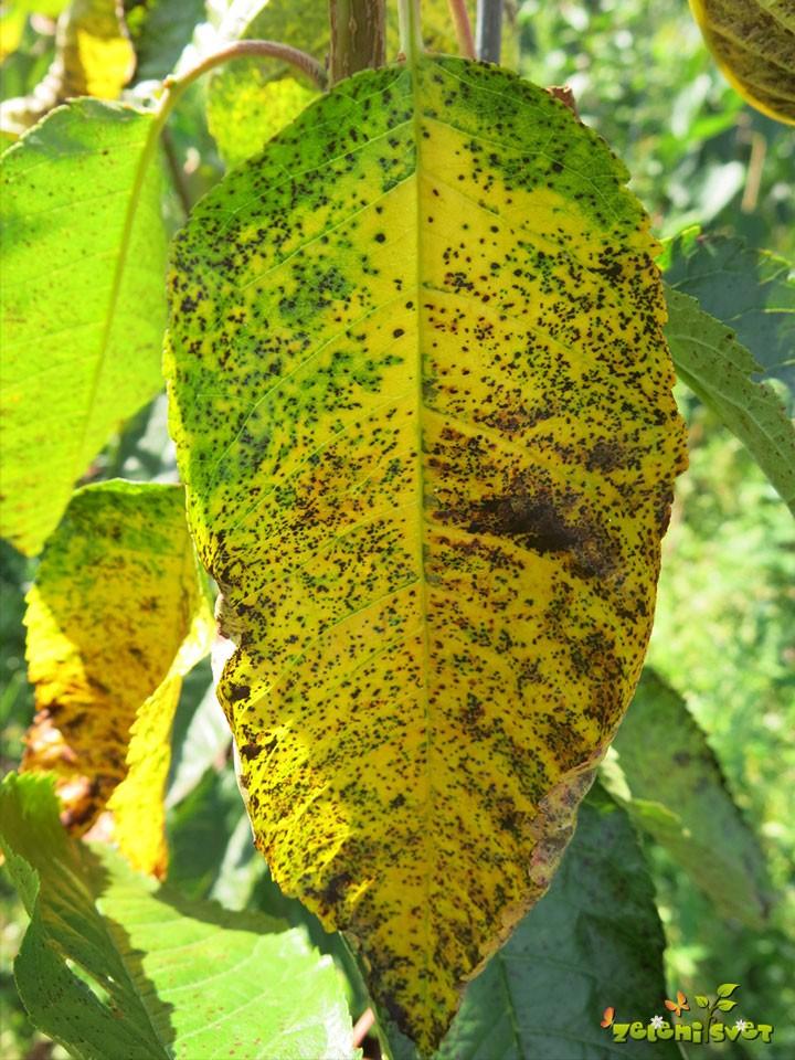 Češnjeva listna pegavost