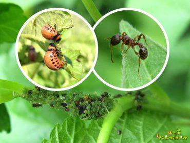 Želite ustaviti koloradskega hrošča, uši in mravlje?