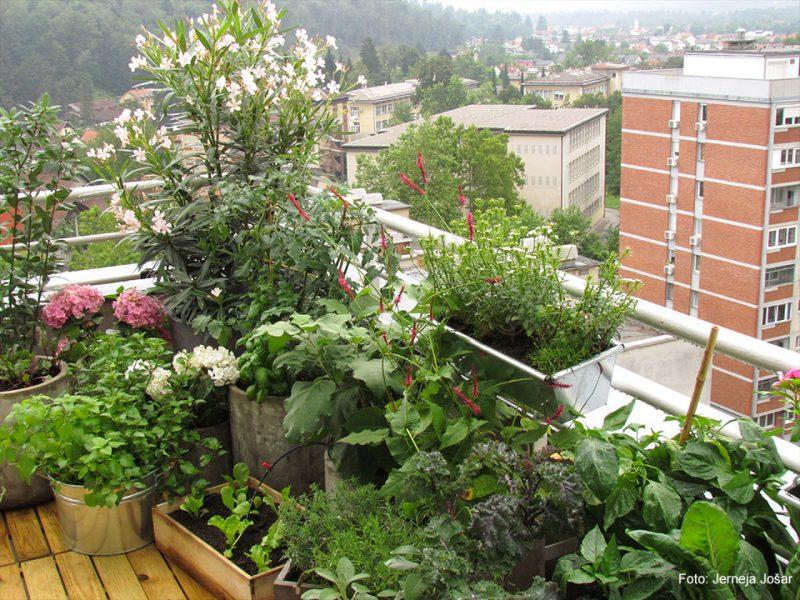 Junijski zelenjavni vrt na balkonu