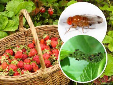 Poskrbimo za zdrav pridelek jagod, malin, ribeza in ameriških borovnic