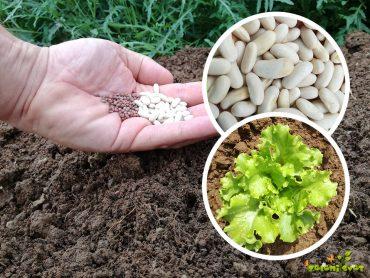 Zelenjavni vrt. Kaj sejemo in sadimo v juliju?