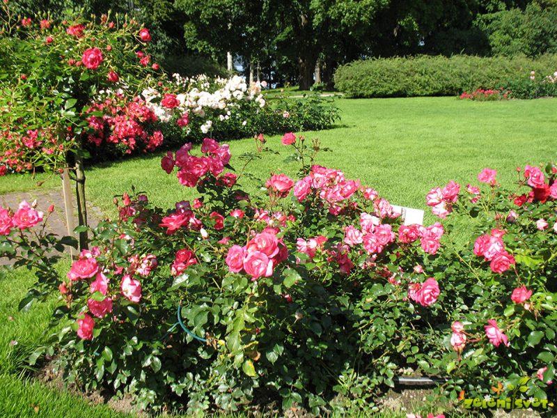 5 nasvetov za najlepše vrtnice
