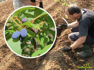 Kako smo posadili haskap jagode (sibirska borovnica)?