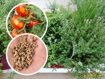 Zelišča z balkona, visoka greda in rastlinjak v septembru