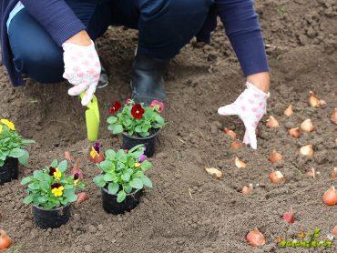 Sajenje tulipanov v domačem vrtu