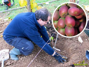 Sajenje bavarskih in sibirskih kivijev za poletje, jesen in zimo