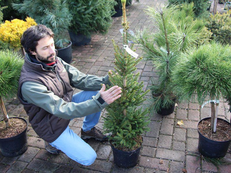 Izbira božičnega drevesca