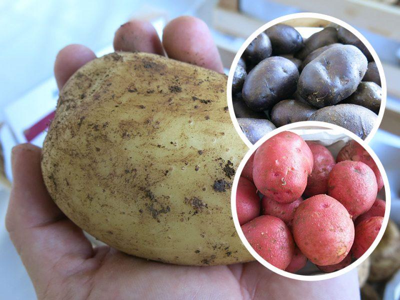 Najbolj odporne sorte krompirja za vrtičkarje