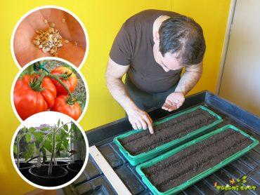 Recept za domače sadike paradižnika na naraven način