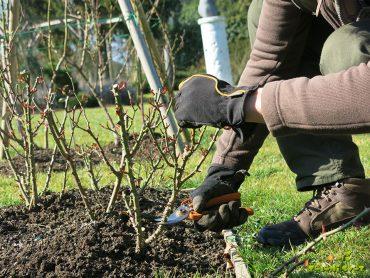 Spomladanska rez, oskrba in sajenje vrtnic