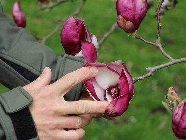 Očarljive magnolije z najlepšimi cvetovi