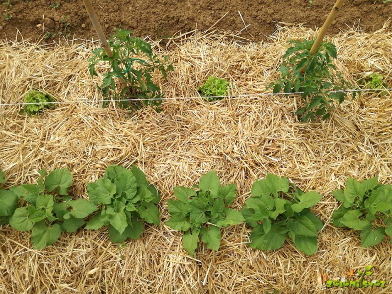 Bogat pridelek in kakovostna domača sadika