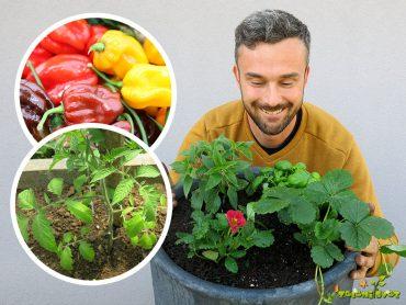 Slastni paradižniki, aromatične jagode in pekoči čiliji
