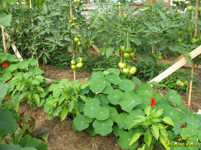 Težave in rešitve pri prehitrem sajenju paradižnika, paprike, jajčevca, …