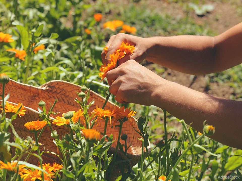 Ognjič krepi rastline, uporaben je kot začimba, mazilo in pomaga pri vnetjih